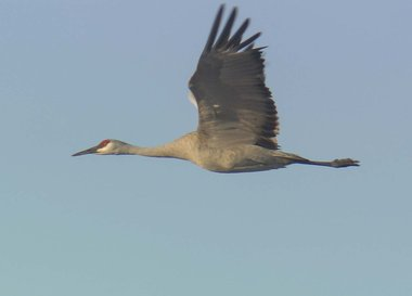 Crane in Flight.jpg
